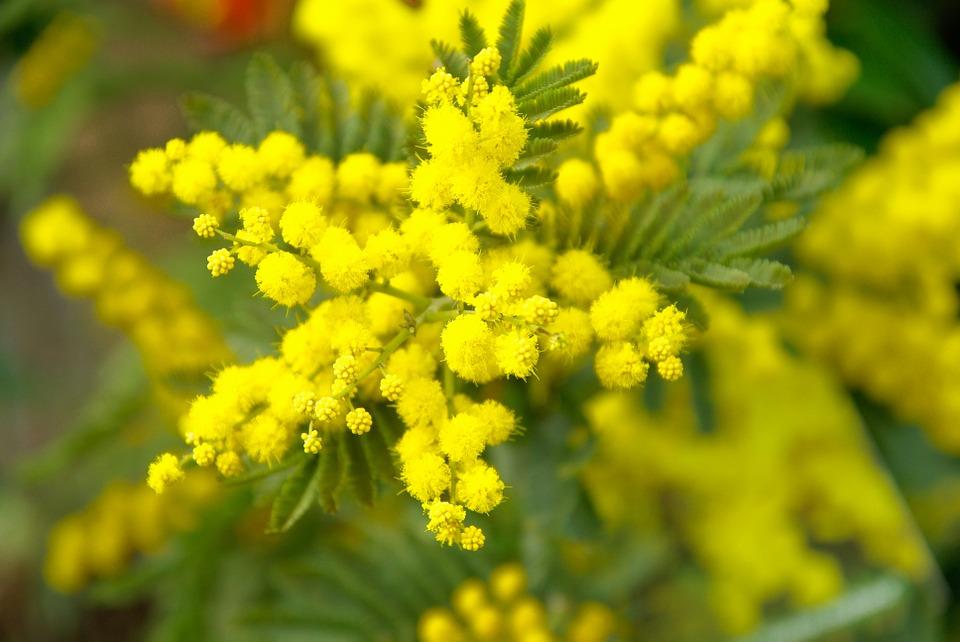 """8-marzo:-assofioristi,-mimosa-fiore-""""italiano"""",-un-omaggio-che-aiuta-tutto-il-settore-florovivaistico"""